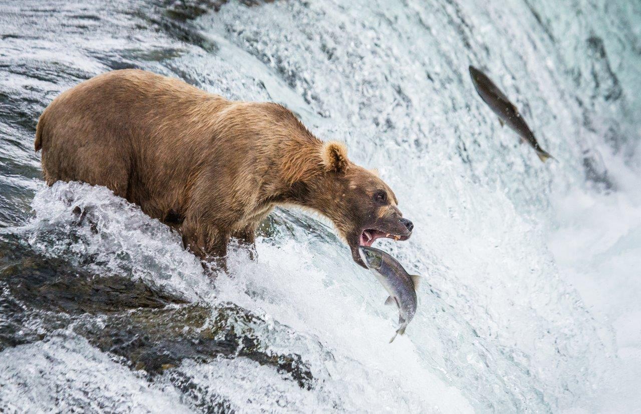 דובים באלסקה