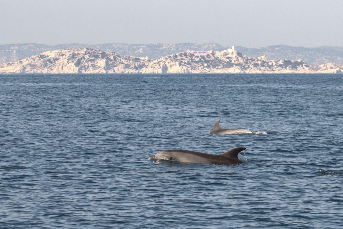 קבוצה של דולפינים שוחה בים התיכון בגן הלאומי קלנקים, מול חופי דרום מזרח צרפת, ב -19 במרץ 2020. PHOTO: AFP