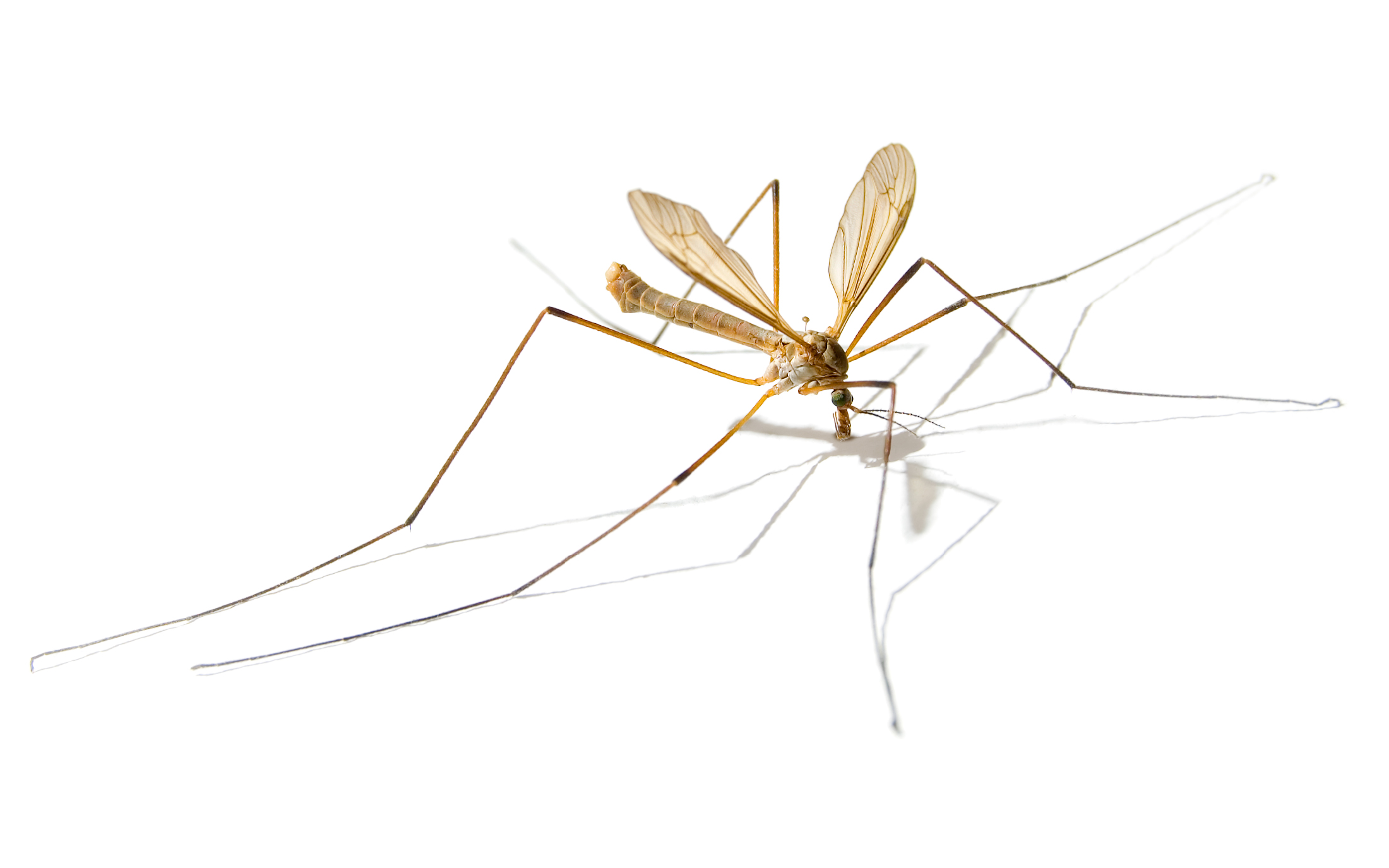 יתוש ענק